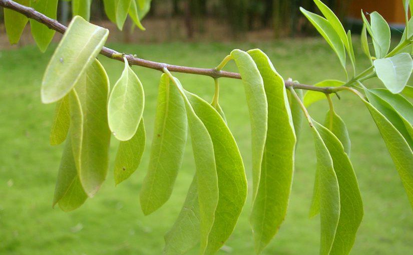 Tutkijat saivat hiukset kasvamaan santelipuun tuoksulla
